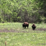Bison grazing in Custer State Park